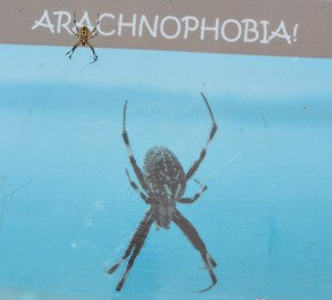 One of the Walker Lake orb weavers dangles in front of an informational sign at Sportsman's beach. The sign details what little is known about these spiders. (C.W. Wilkinson photo)