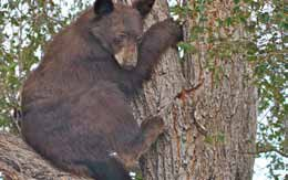 The death of a female black bear has prompted a $3,500 reward for information leading to the arrest of the person who illegally killed the bear.