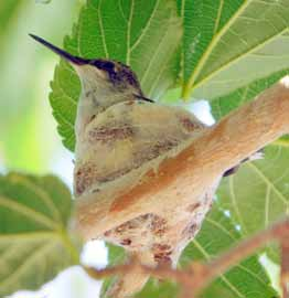 Hummingbird nest a rare sight