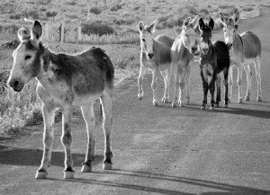 Courtesy photo Burro's from Mineral County's Marietta Wild Burro Range have recently started roaming into more populated areas, and were involved in a vehicle accident last week.