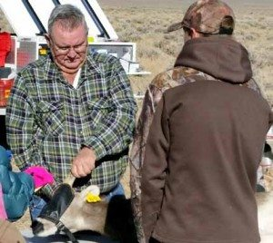 Courtesy photo Mineral County Wildlife Advisory Board chairman Glenn Bunch is shown with a desert bighorn sheep that was undergoing testing and observation before being transplanted outside of Luning.