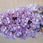 "<span class=""entry-title-primary"">Pic of the Week</span> <span class=""entry-subtitle"">Lilac in Bloom</span>"