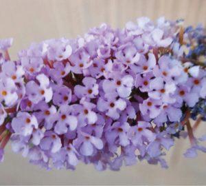 Craig Anderson - Lilac in Bloom