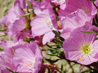 "Beverly Orozco -  ""Busy Bee"" - on a Mexican Primrose"