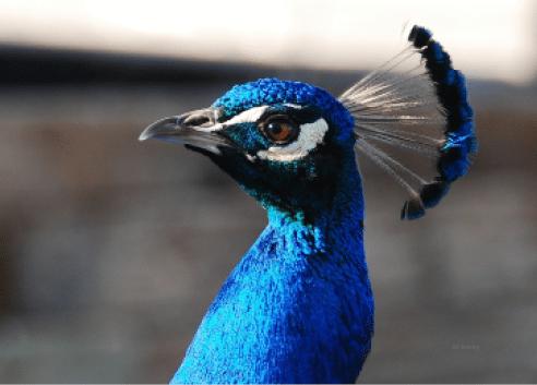 Pondering peacock - By Betty Easley