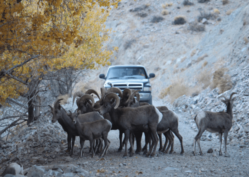 Tony Hughes Bighorn sheep head toward water in Cottonwood Canyon near Walker Lake.
