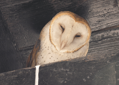 Pic of the Week: A Barn Owl in Laws Railroad Museum