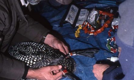 Common Loon with ties to Walker Lake saved in Idaho