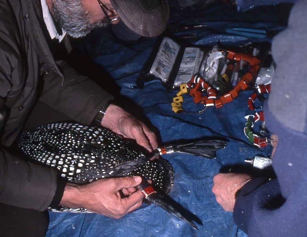 Courtesy photo  A loon with ties to Walker Lake was saved from the entanglement of a net in Idaho Oct. 19.
